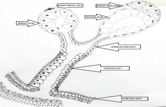 Salivary Gland Anatomy
